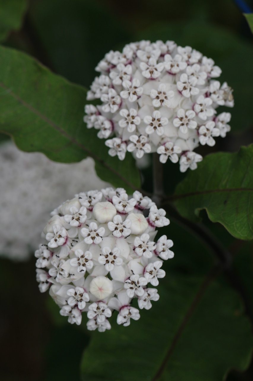 The Scientific Name is Asclepias variegata. You will likely hear them called Redring Milkweed, White Milkweed. This picture shows the Densely flowered umbels of Asclepias variegata
