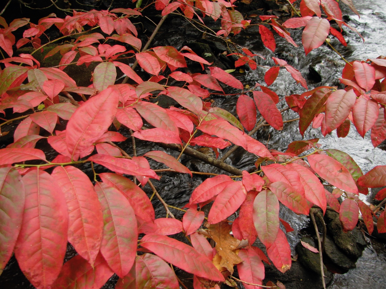 The Scientific Name is Oxydendrum arboreum. You will likely hear them called Sourwood, Sorrel-tree. This picture shows the Close-up of leaves in October of Oxydendrum arboreum