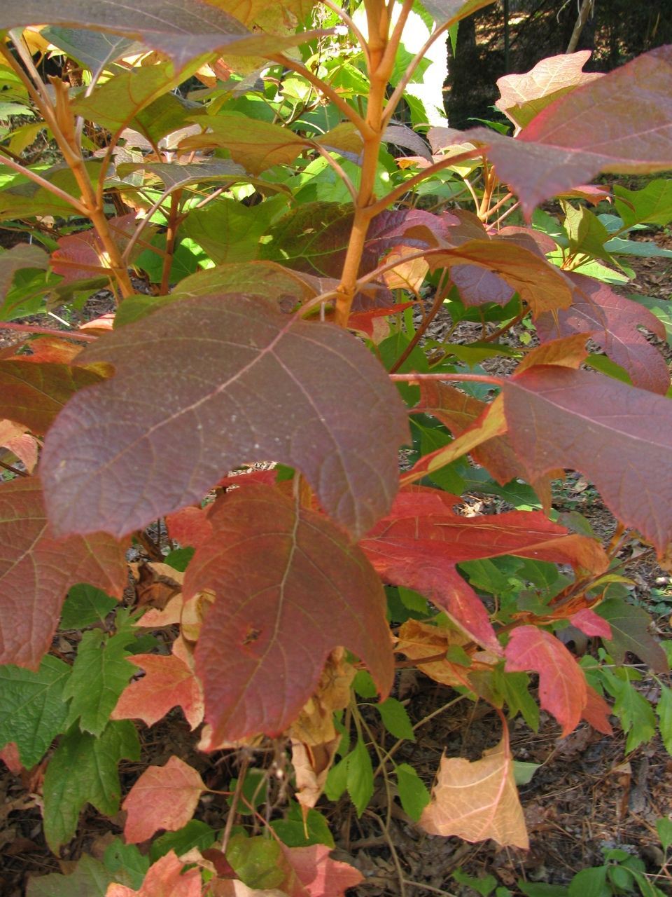 The Scientific Name is Hydrangea quercifolia. You will likely hear them called Oakleaf Hydrangea. This picture shows the Beautiful Fall color of Hydrangea quercifolia