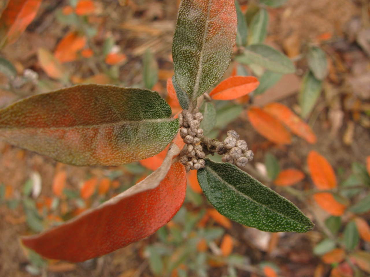 The Scientific Name is Croton alabamensis var. alabamensis. You will likely hear them called Alabama Croton. This picture shows the Fall colors in November with next years flower buds formed. Plant is semi-evergreen so the orange foliage persists into the following year. of Croton alabamensis var. alabamensis