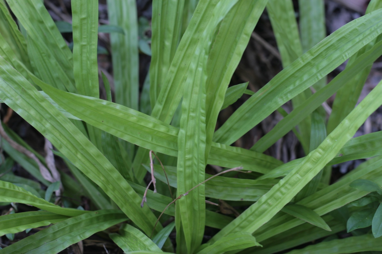 The Scientific Name is Carex plantaginea. You will likely hear them called Plantain-leaved Sedge, Seersucker Sedge. This picture shows the During July of Carex plantaginea