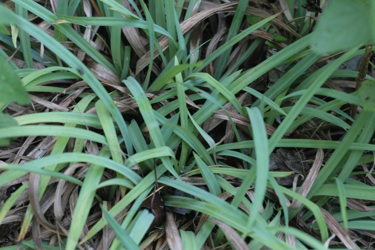 The Scientific Name is Carex flaccosperma. You will likely hear them called Meadow Sedge, Blue Wood Sedge. This picture shows the The plant in mid-summer of Carex flaccosperma