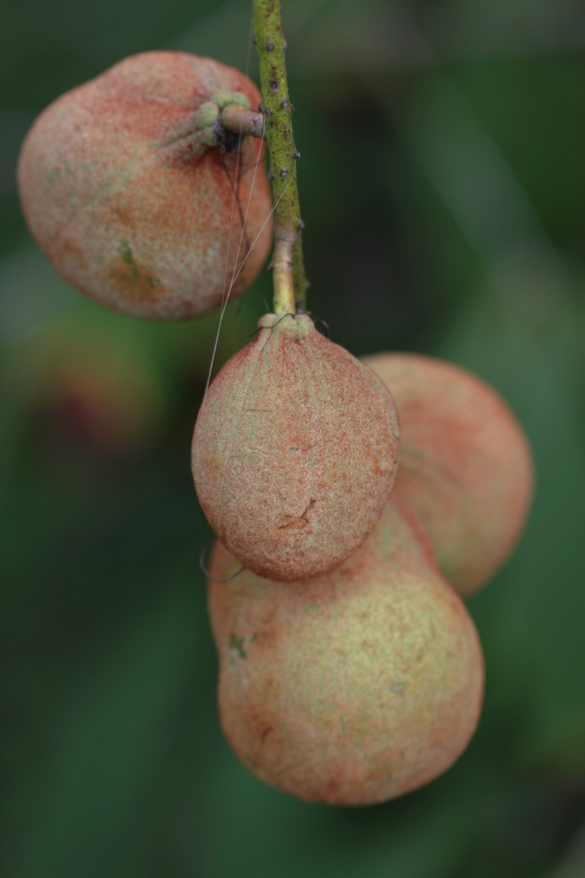 The Scientific Name is Aesculus parviflora. You will likely hear them called Bottlebrush Buckeye. This picture shows the Mature fruit in mid-September. The fruit is a leathery capsule containing 1-3 large, shiny, seeds. of Aesculus parviflora