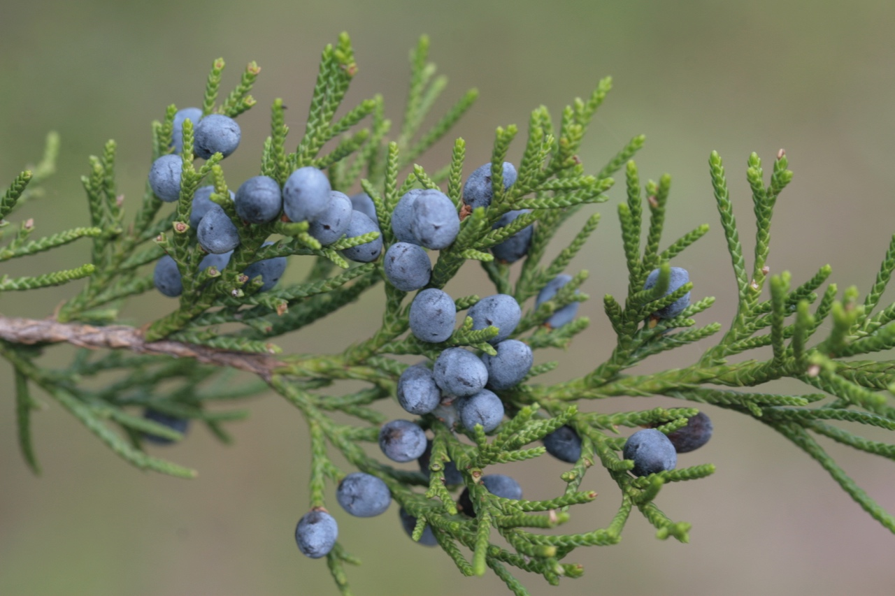 The Scientific Name is Juniperus virginiana. You will likely hear them called Eastern Red Cedar. This picture shows the Close up of mature cones in late September with a beautiful blue color of Juniperus virginiana