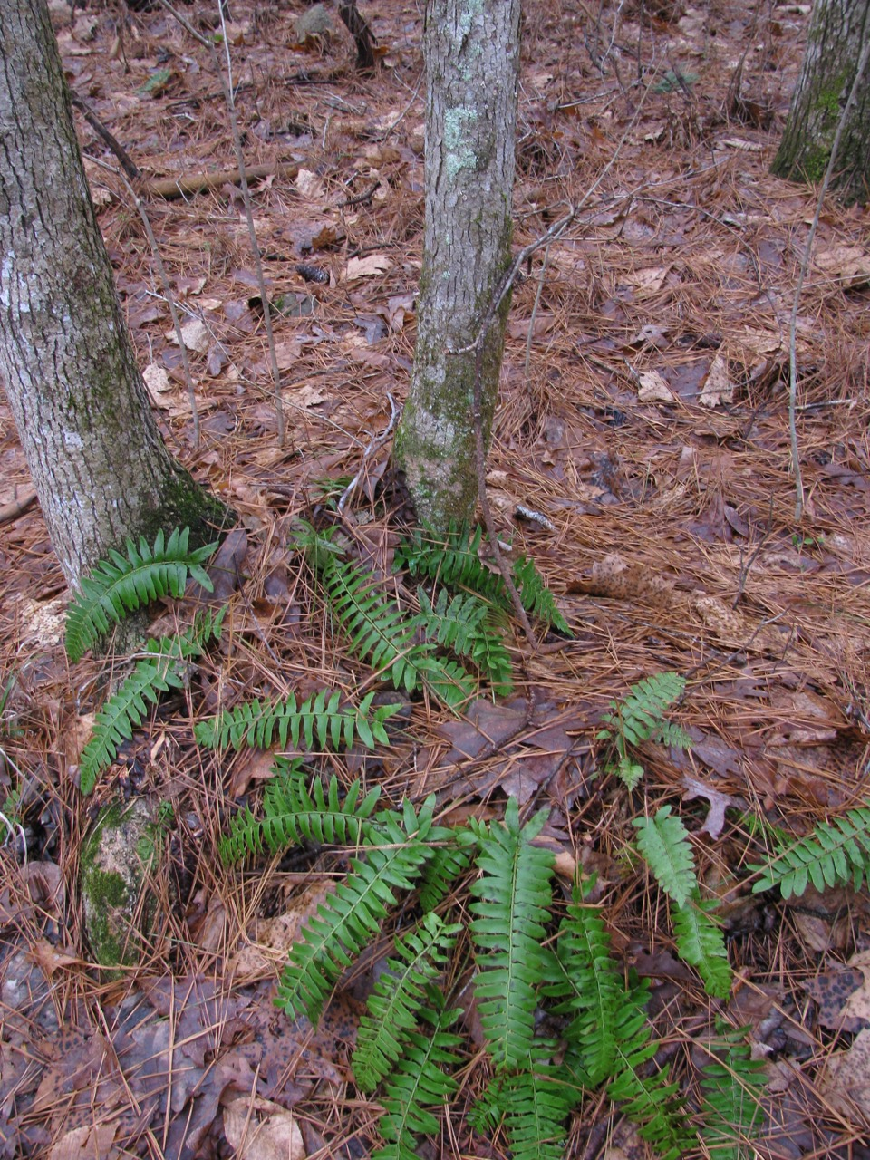 The Scientific Name is Polystichum acrostichoides. You will likely hear them called Christmas Fern. This picture shows the Ferns are green in winter since they are evergreen. of Polystichum acrostichoides