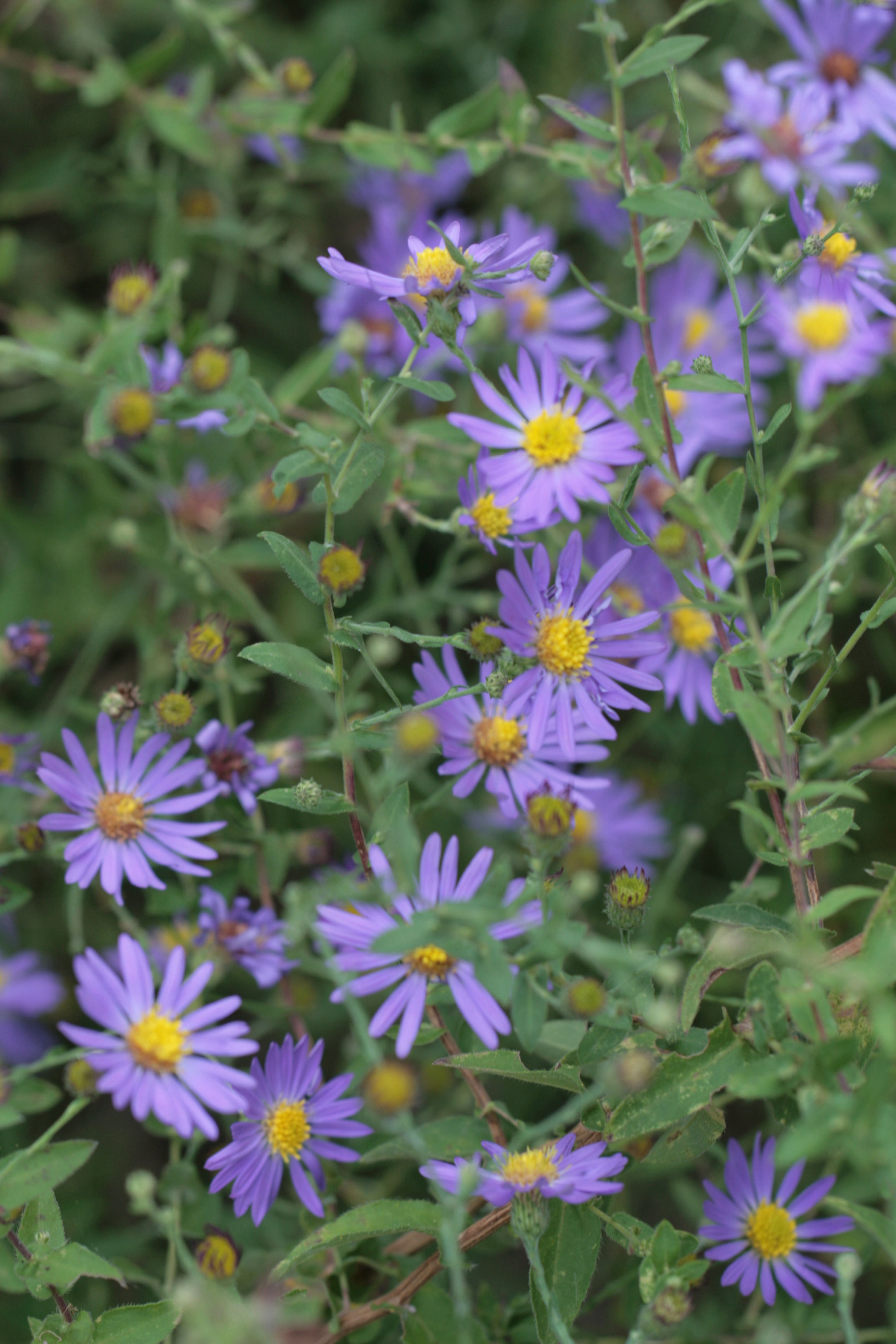 The Scientific Name is Symphyotrichum patens var. patens [= Aster patens]. You will likely hear them called Common Clasping Aster, Late Purple Aster. This picture shows the Wonderful splash of color  of Symphyotrichum patens var. patens [= Aster patens]