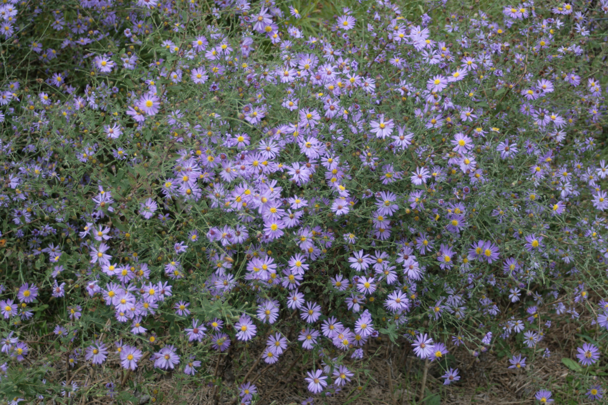 The Scientific Name is Symphyotrichum patens var. patens [= Aster patens]. You will likely hear them called Common Clasping Aster, Late Purple Aster. This picture shows the Large plant with a profusion of purple inflorescences of Symphyotrichum patens var. patens [= Aster patens]