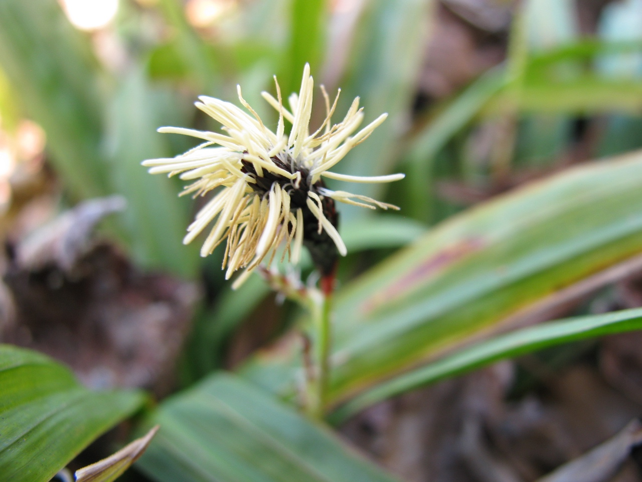 The Scientific Name is Carex plantaginea. You will likely hear them called Plantain-leaved Sedge, Seersucker Sedge. This picture shows the Male spikelet in late February of Carex plantaginea