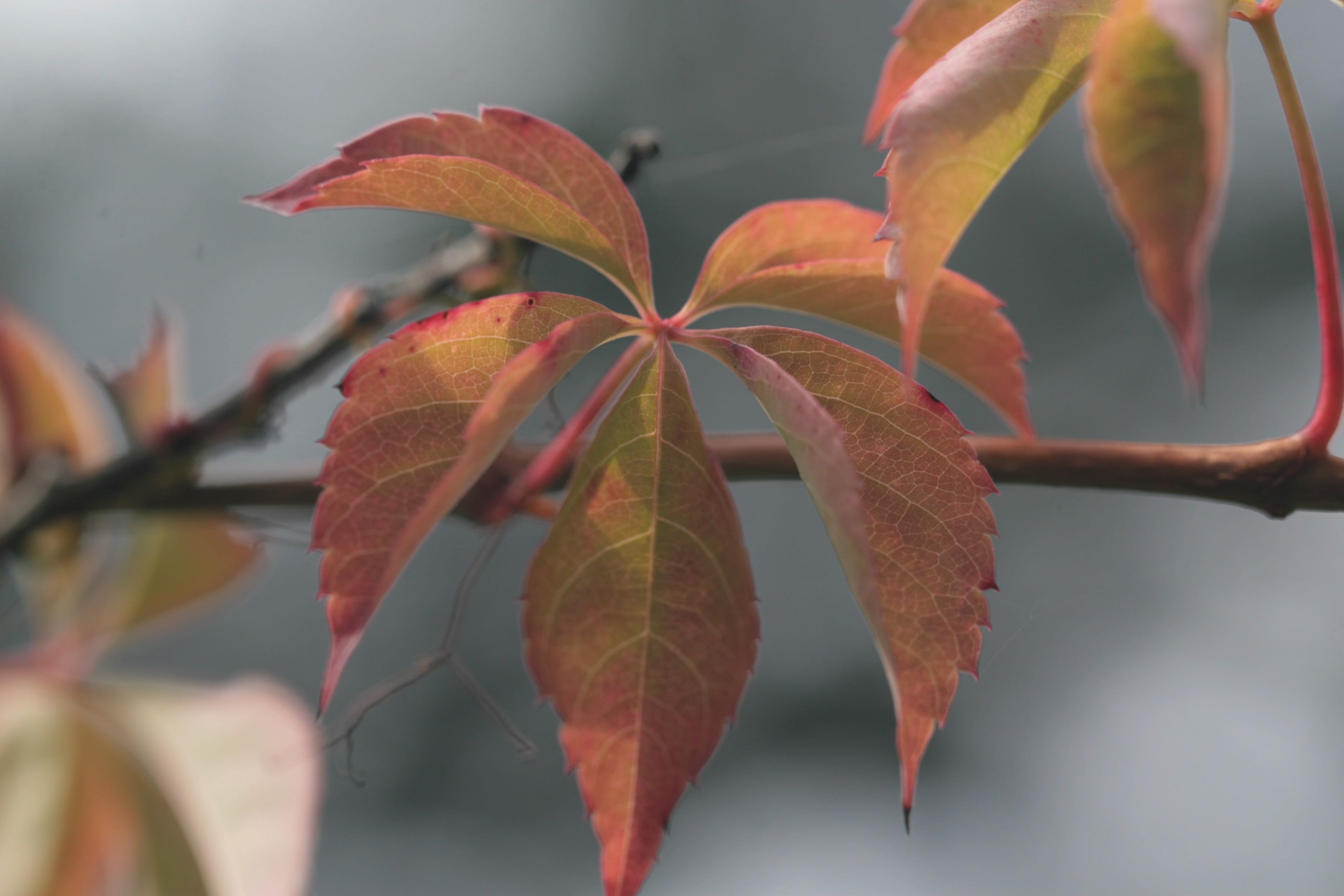 The Scientific Name is Parthenocissus quinquefolia. You will likely hear them called Virginia Creeper. This picture shows the This leaf is just beginning to show its Fall colors. of Parthenocissus quinquefolia