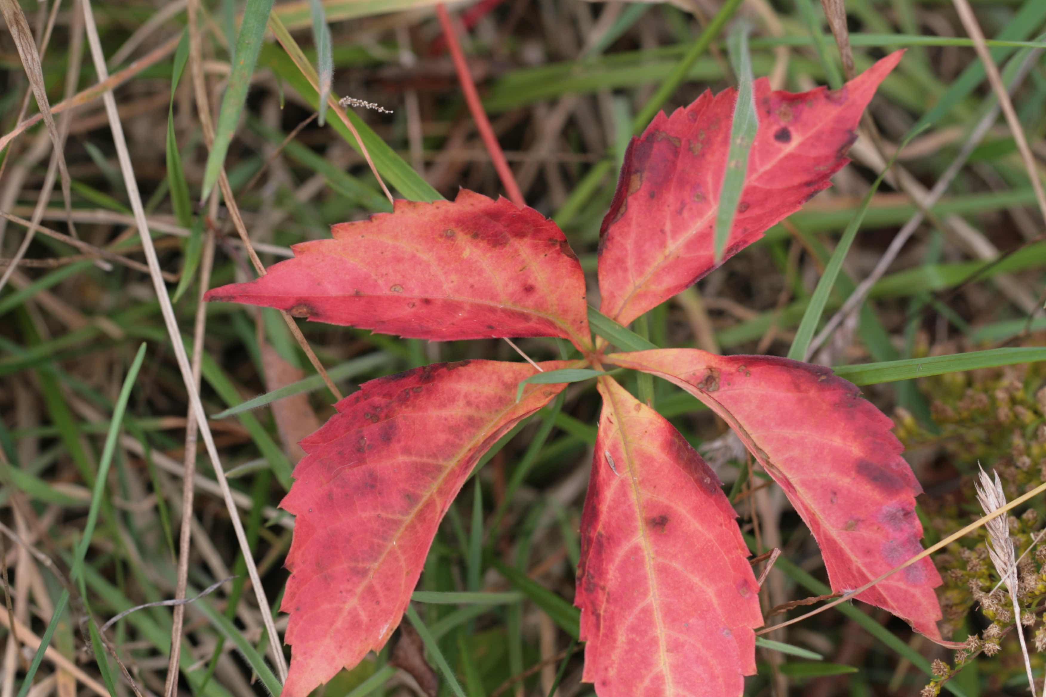 The Scientific Name is Parthenocissus quinquefolia. You will likely hear them called Virginia Creeper. This picture shows the Nice Fall color of Parthenocissus quinquefolia
