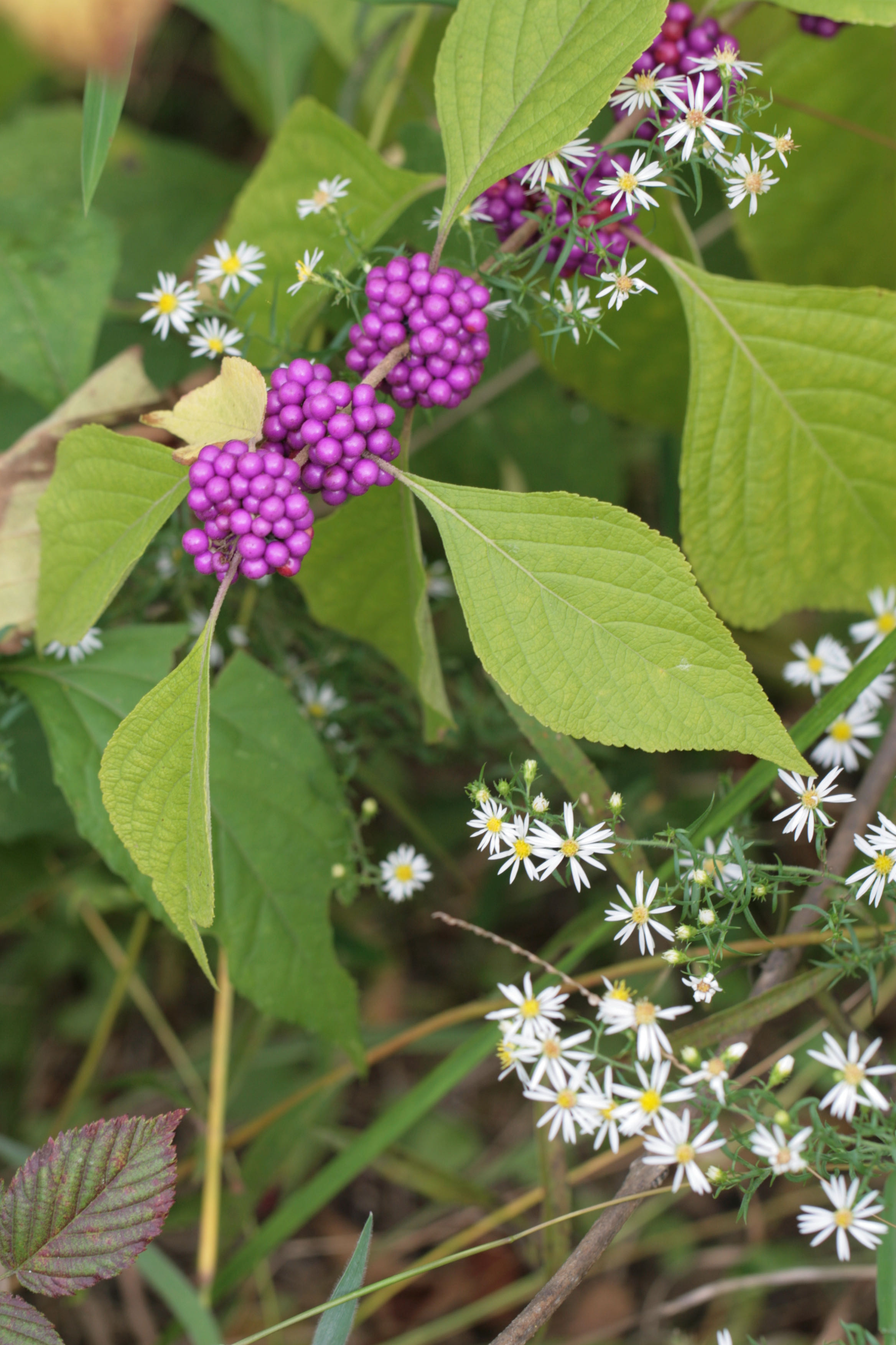 The Scientific Name is Callicarpa americana. You will likely hear them called Beautyberry, American Beautyberry, French-mulberry. This picture shows the A pretty combination with Symphyotrichum pilosum of Callicarpa americana