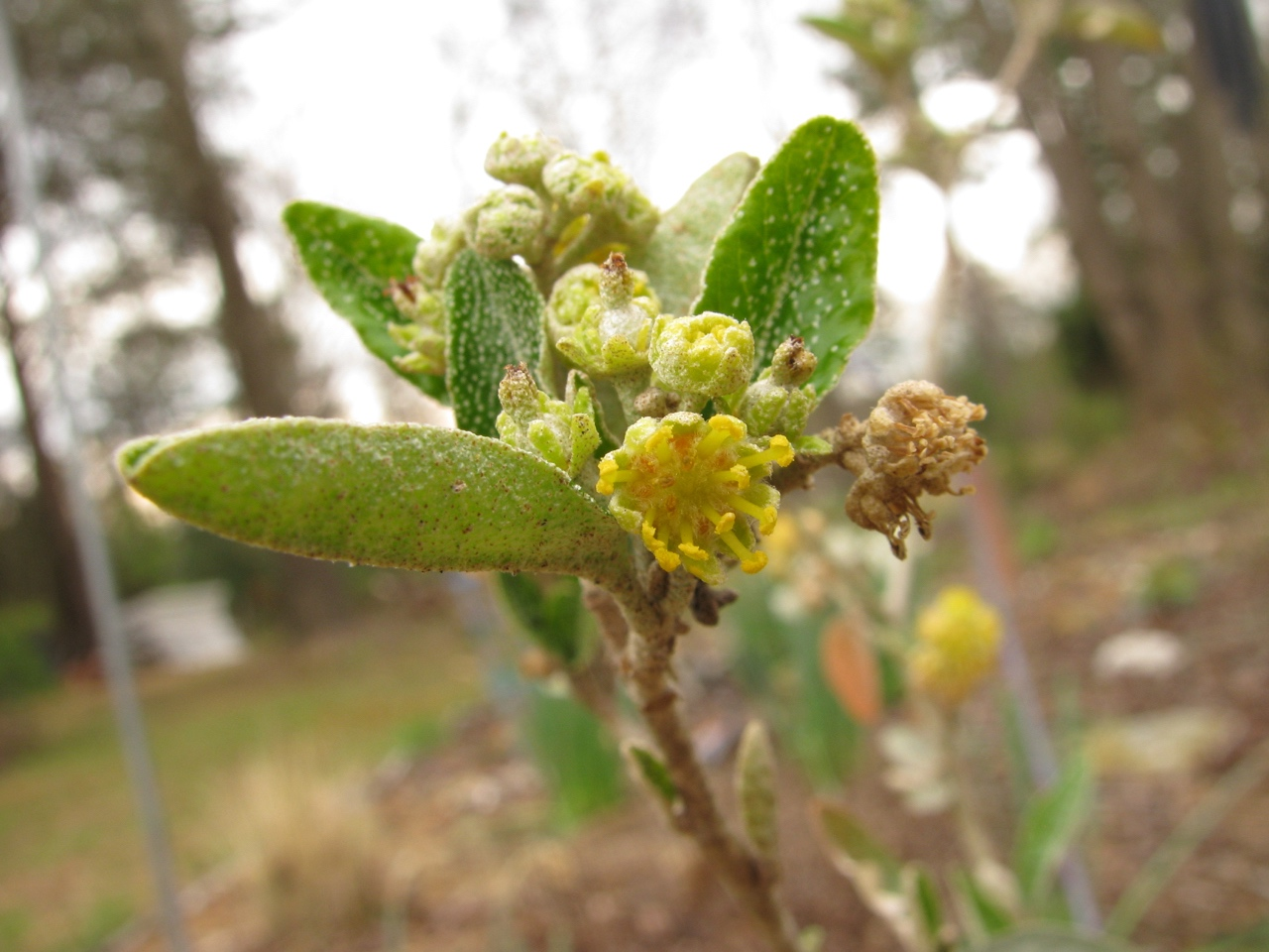 The Scientific Name is Croton alabamensis var. alabamensis. You will likely hear them called Alabama Croton. This picture shows the Small yellow flowers in March of Croton alabamensis var. alabamensis