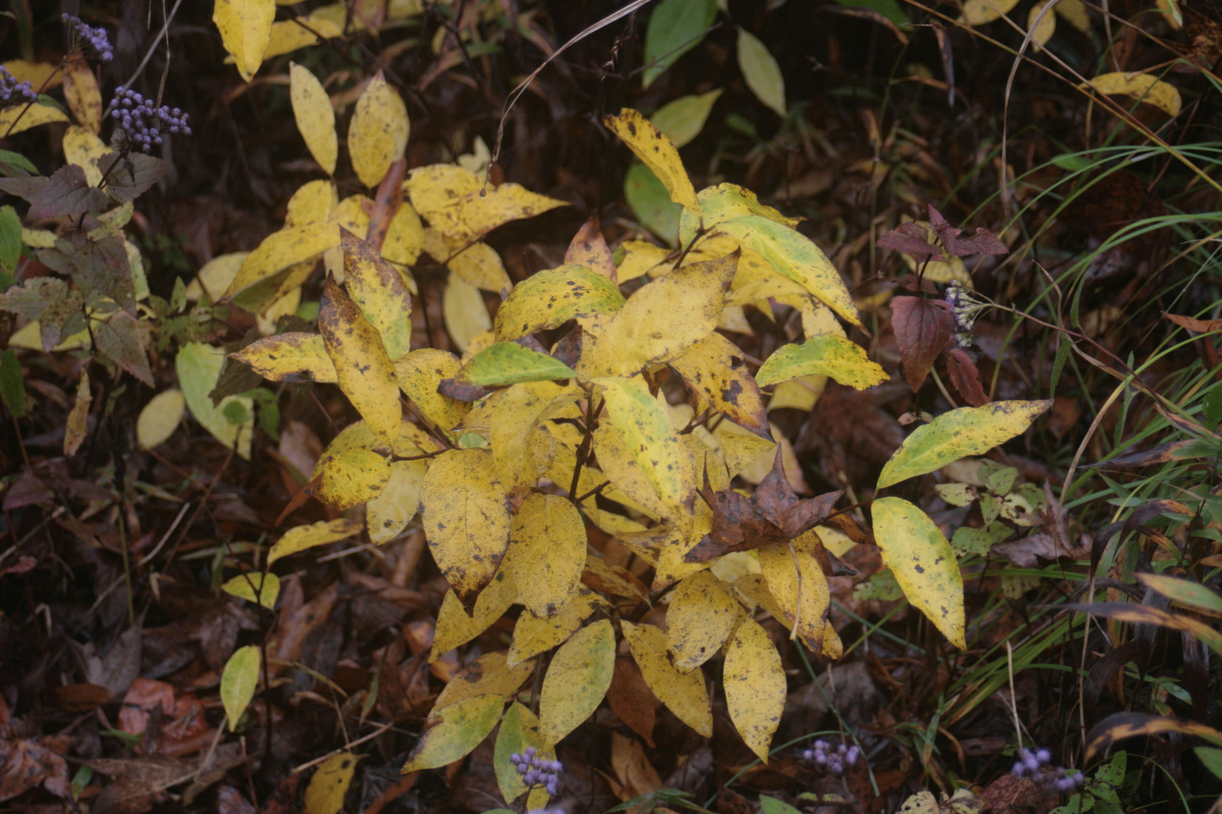 The Scientific Name is Calycanthus floridus. You will likely hear them called Sweet shrub; Sweet Betsy, Carolina allspice. This picture shows the Close-up of the yellow Fall leaf color of Calycanthus floridus