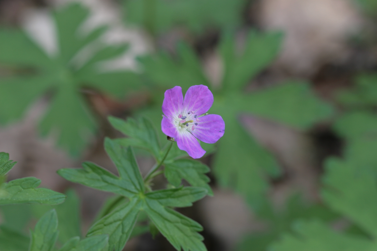 The Scientific Name is Geranium maculatum. You will likely hear them called Wild Geranium, Spotted Crane's-bill. This picture shows the Plants in the mountains tend to have flowers that are a deeper purple-rose color compared to those in the Piedmont and Coastal Plain which tend to be more light pink. of Geranium maculatum