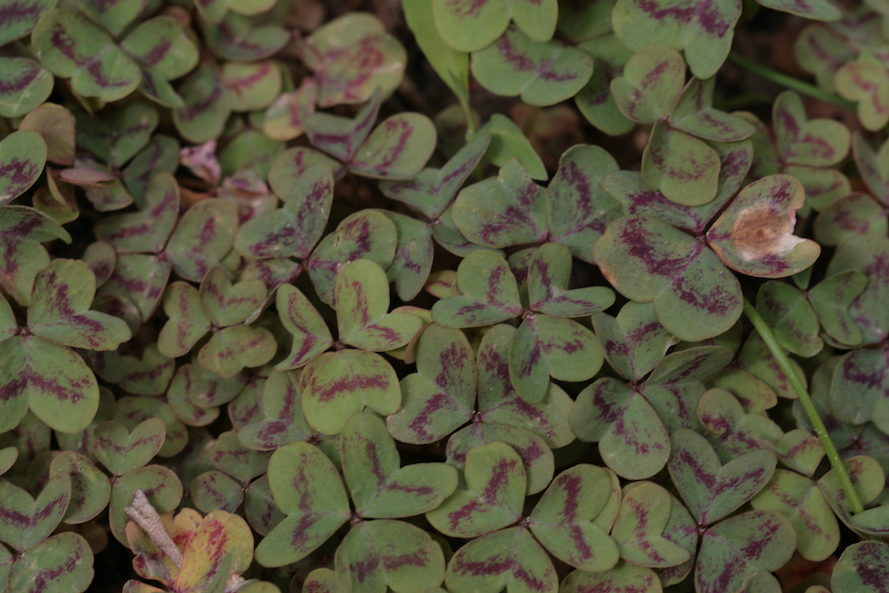 The Scientific Name is Oxalis violacea. You will likely hear them called Violet Wood-sorrel. This picture shows the  The top of the leaves can sometimes have purple variegation. of Oxalis violacea