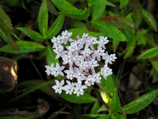The Scientific Name is Asclepias perennis. You will likely hear them called Aquatic Milkweed, White Swamp Milkweed, White Milkweed. This picture shows the Leaves are lanceolate in shape and tend to be dark green in color. The bright white flowers can have tinges of pink. of Asclepias perennis