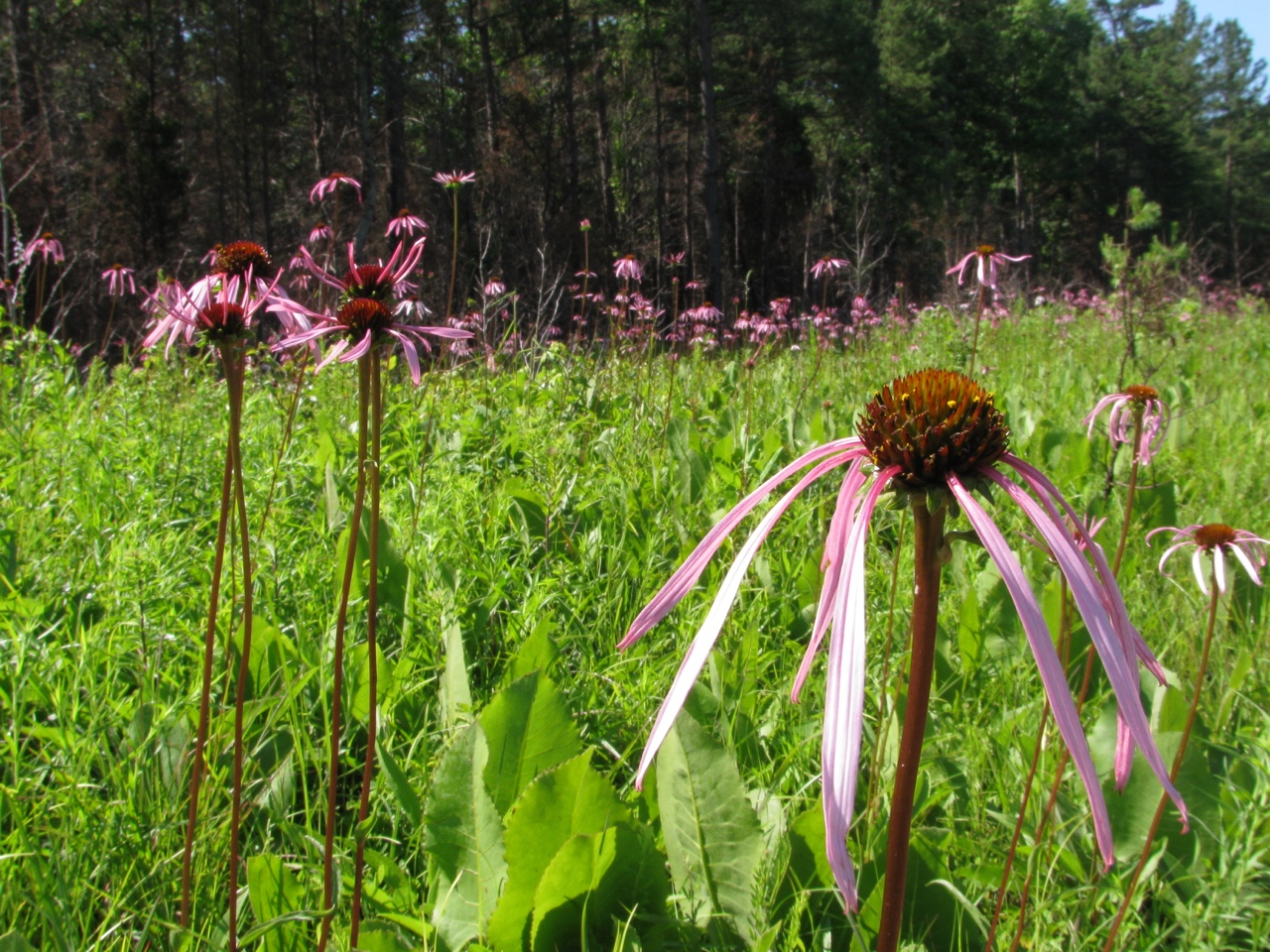 The Scientific Name is Echinacea laevigata [=Echinacea purpurea var. laevigata]. You will likely hear them called Smooth Purple Coneflower. This picture shows the Flowering in June of Echinacea laevigata [=Echinacea purpurea var. laevigata]