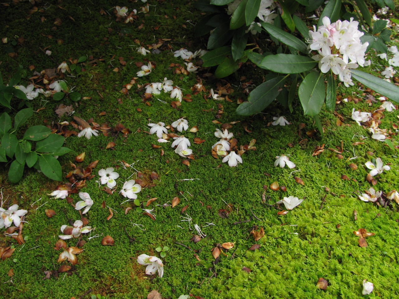 The Scientific Name is Rhododendron maximum. You will likely hear them called Great Rhododendron, Rosebay Rhododendron. This picture shows the Spent flowers on the forest floor of Rhododendron maximum
