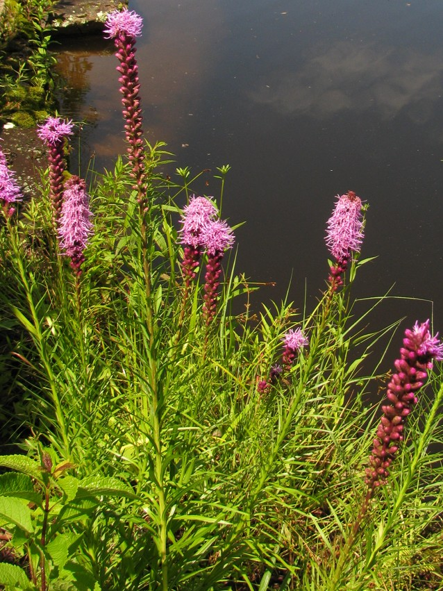 The Scientific Name is Liatris spicata var. spicata [Liatris spicata var. typica]. You will likely hear them called Dense Blazing-star, Florist's Gayfeather. This picture shows the Flowering heads are in a dense spike of Liatris spicata var. spicata [Liatris spicata var. typica]