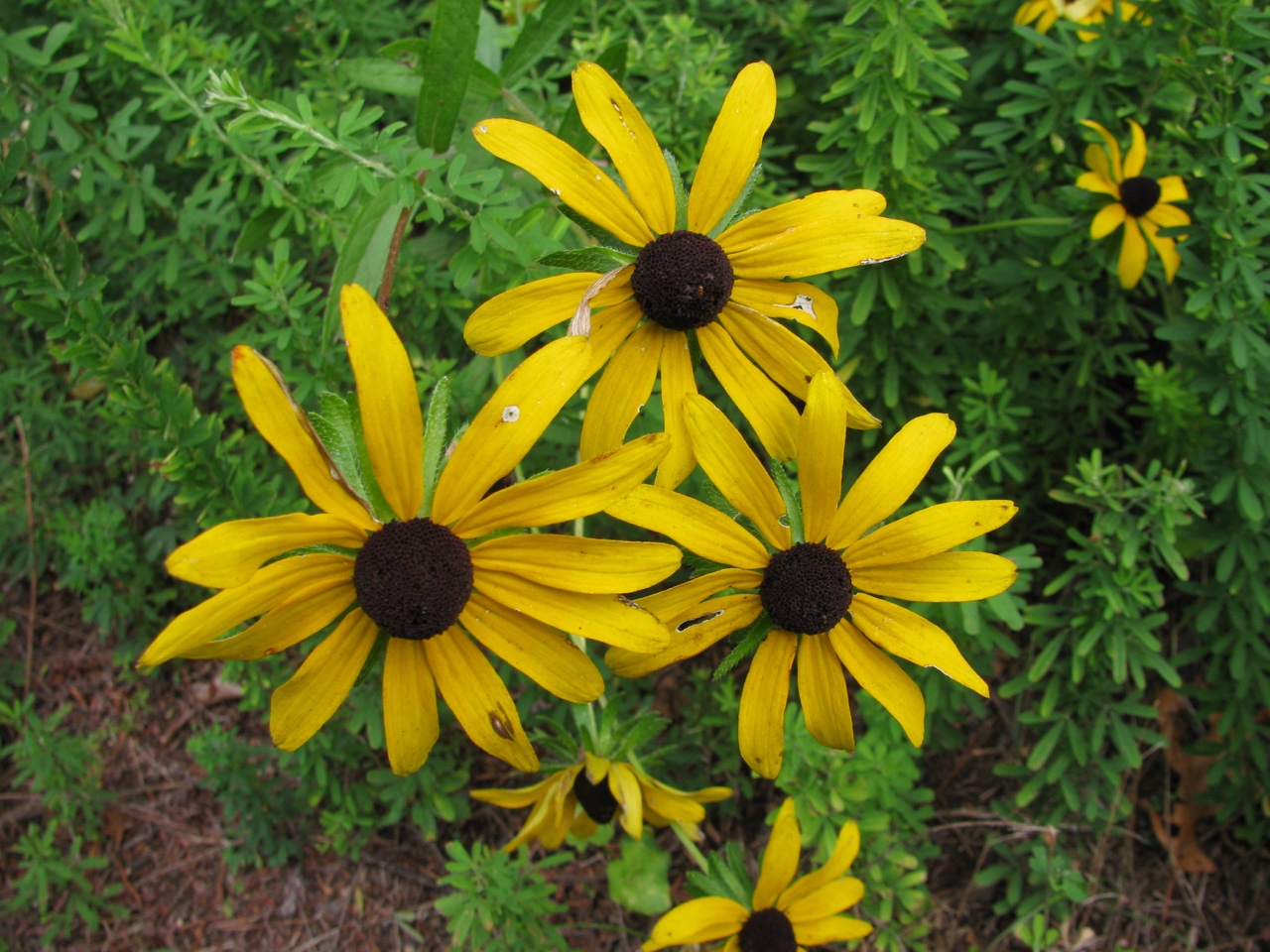 The Scientific Name is Rudbeckia hirta. You will likely hear them called Black-eyed Susan, Black-eyed Coneflower. This picture shows the Beautiful golden-yellow rays with a dark  purple-brown cone-shaped disk of Rudbeckia hirta