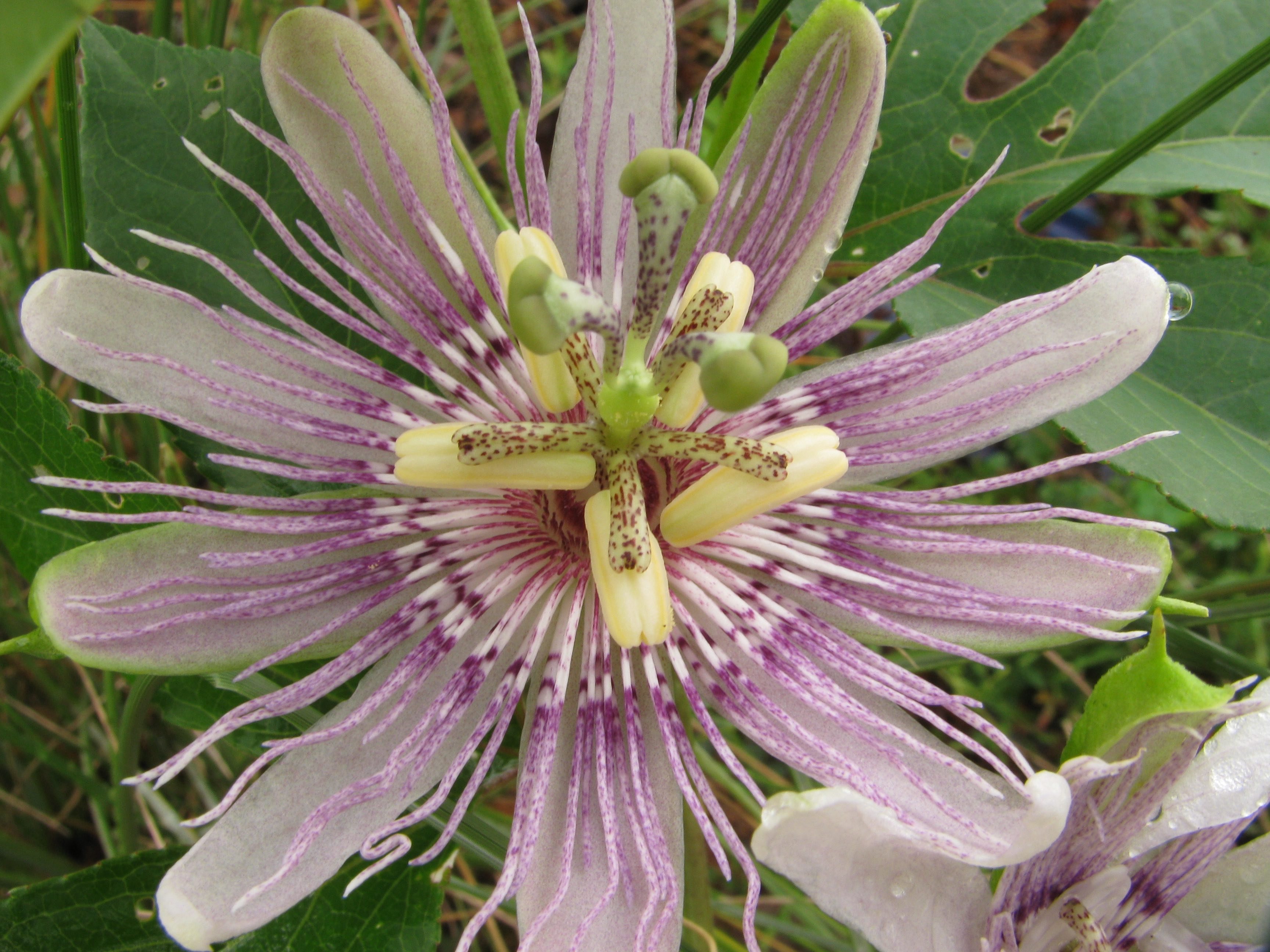 The Scientific Name is Passiflora incarnata. You will likely hear them called Purple Passionflower, Passion-vine, Maypops. This picture shows the Unique flower of Purple Passionflower in August with numerous thread-like structures of the corona (a structure between the corolla and the stamens simulating an additional part of the perianth) of Passiflora incarnata