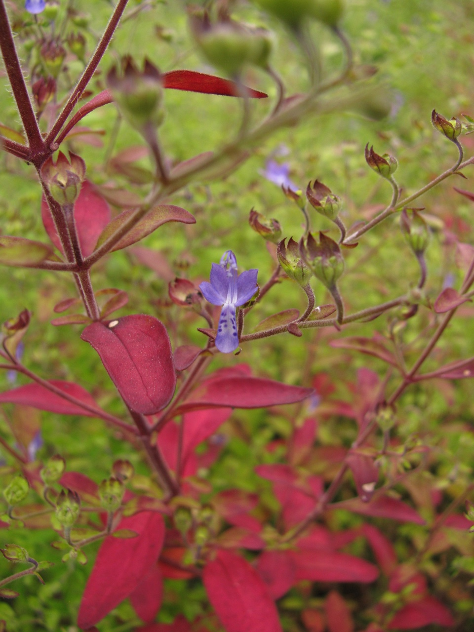 The Scientific Name is Trichostema dichotomum. You will likely hear them called Forked Bluecurls, Common Blue Curls, Blue-curls. This picture shows the Beautiful Fall color of Trichostema dichotomum