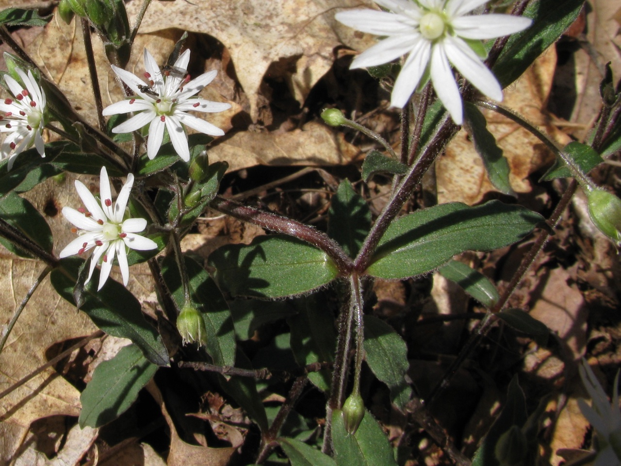The Scientific Name is Stellaria pubera. You will likely hear them called Star Chickweed, Common Starwort, Giant Chickweed, Great Chickweed.. This picture shows the Notice the hair covered stems and leaves as the specific epithet