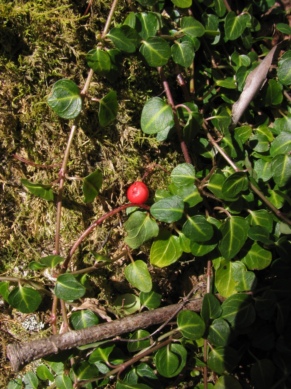 The Scientific Name is Mitchella repens. You will likely hear them called Partridge-berry, Twinberry, Running Box, Pigeon Plum. This picture shows the Plant with creeping stems and dark green, leathery, evergreen opposite leaves of Mitchella repens