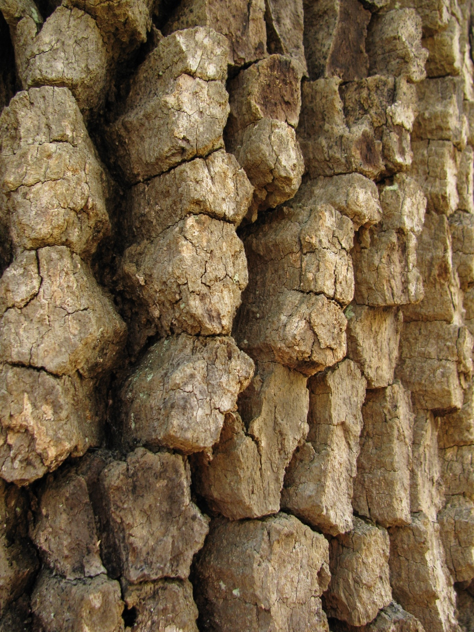 The Scientific Name is Diospyros virginiana. You will likely hear them called Persimmon, Possum Apple, Possumwood. This picture shows the Prominent blocky rectangular bark on older specimens of Diospyros virginiana