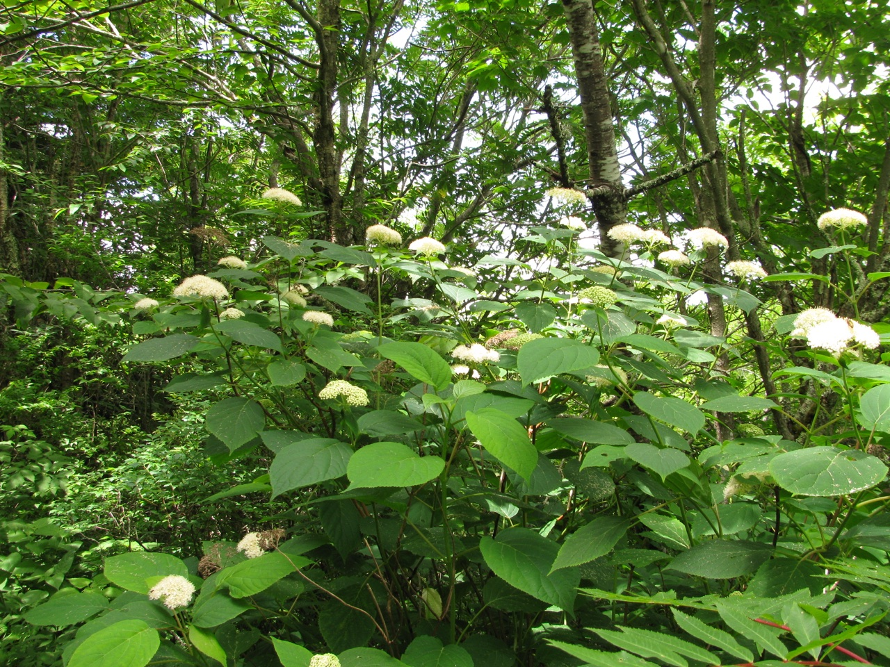 The Scientific Name is Hydrangea arborescens. You will likely hear them called Wild Hydrangea, Sevenbark. This picture shows the Shrub in bloom in mid-July of Hydrangea arborescens