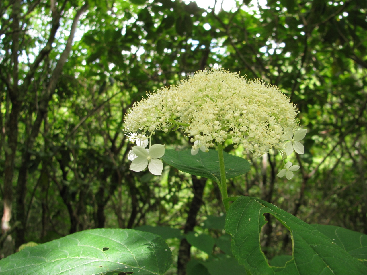 The Scientific Name is Hydrangea arborescens. You will likely hear them called Wild Hydrangea, Sevenbark. This picture shows the Close-up of inflorescence showing larger showy sterile flowers along the margins of the corymb of Hydrangea arborescens
