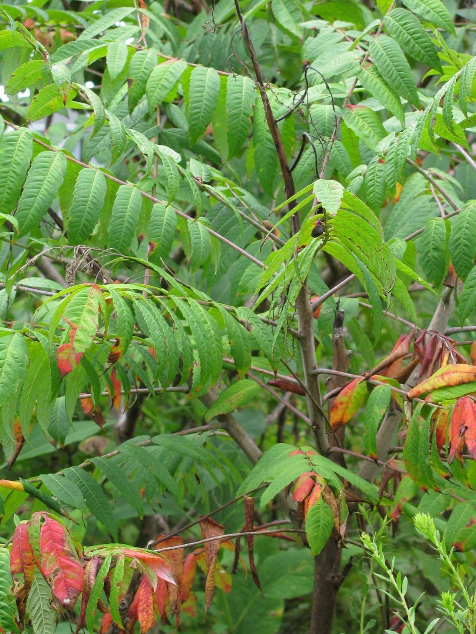 The Scientific Name is Rhus glabra. You will likely hear them called Smooth Sumac. This picture shows the Stems are glabrous and not heavily tomentose (fuzzy) as in R. typhina of Rhus glabra