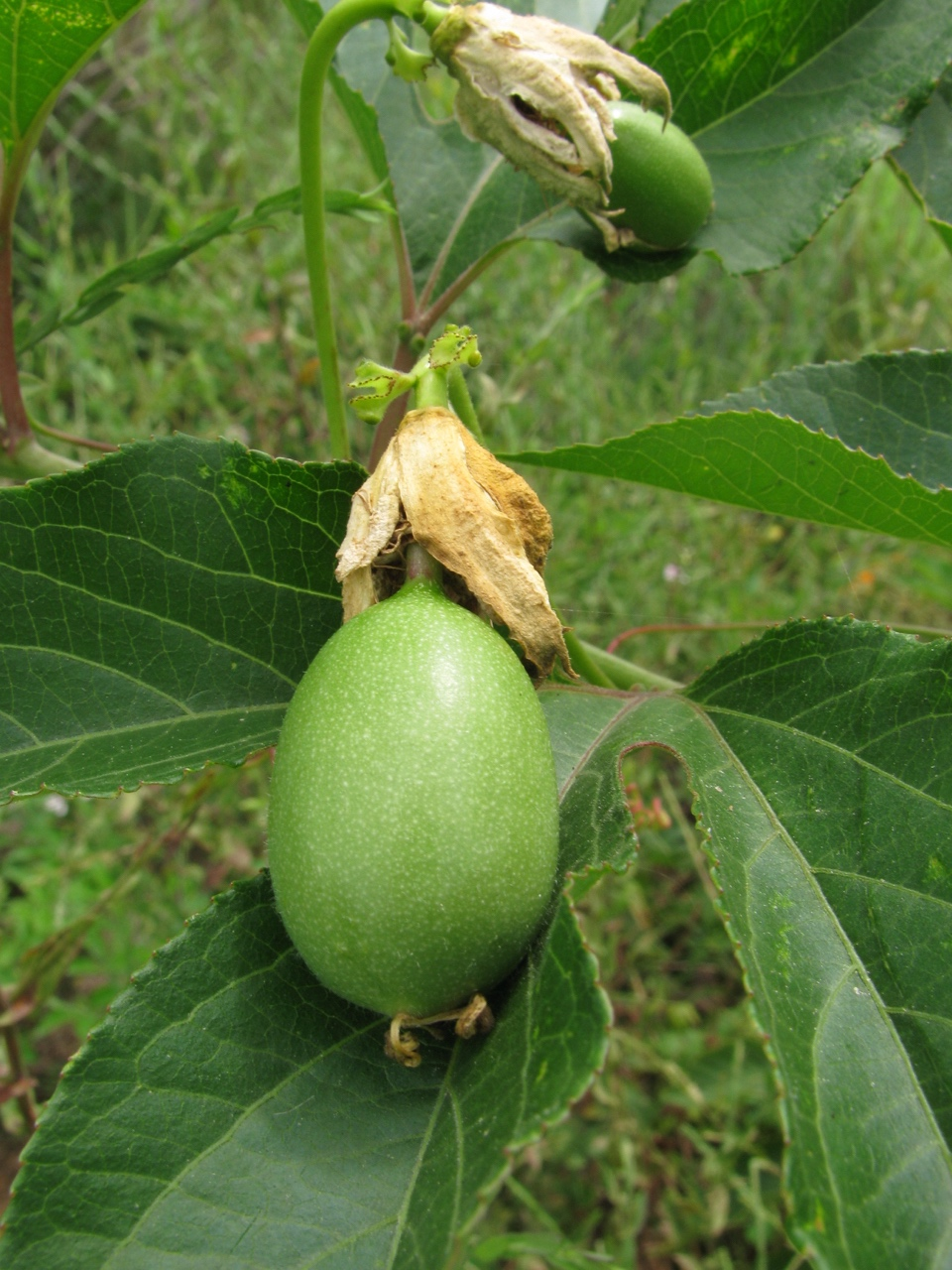 The Scientific Name is Passiflora incarnata. You will likely hear them called Purple Passionflower, Passion-vine, Maypops. This picture shows the Developing fruit (a very large berry) of Passiflora incarnata