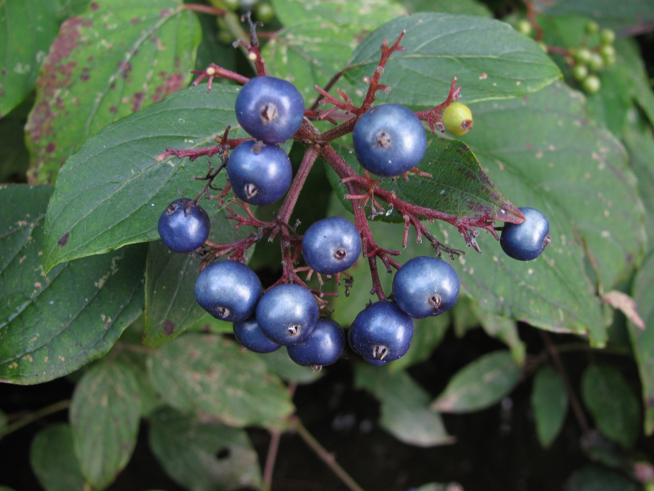 The Scientific Name is Cornus amomum [= Swida amomum]. You will likely hear them called Silky Dogwood. This picture shows the Blue colored fruits in mid-August of Cornus amomum [= Swida amomum]