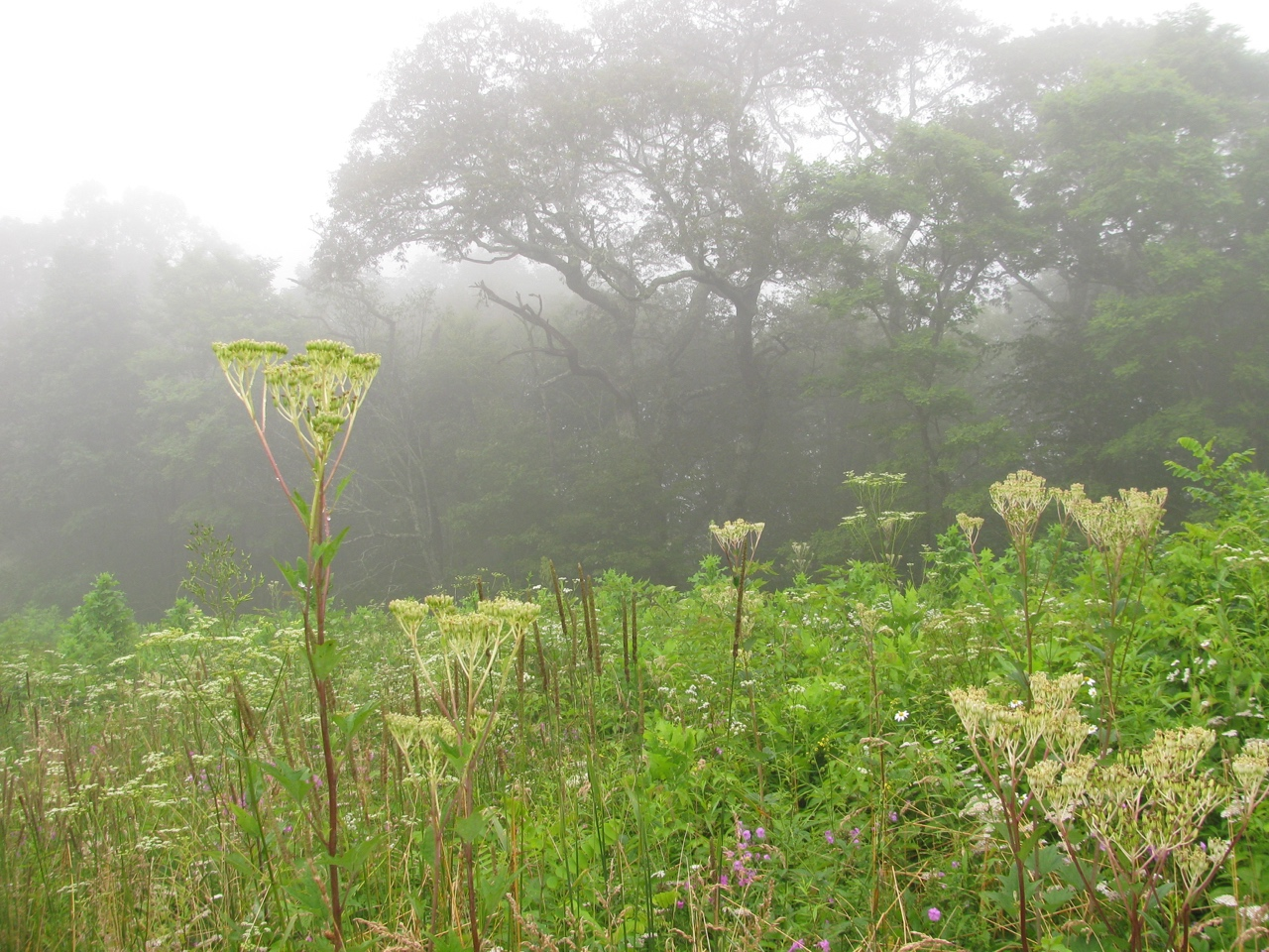 The Scientific Name is Arnoglossum atriplicifolium [= Cacalia atriplicifolia]. You will likely hear them called Pale Indian-plantain. This picture shows the Natural stand of plants of Arnoglossum atriplicifolium [= Cacalia atriplicifolia]
