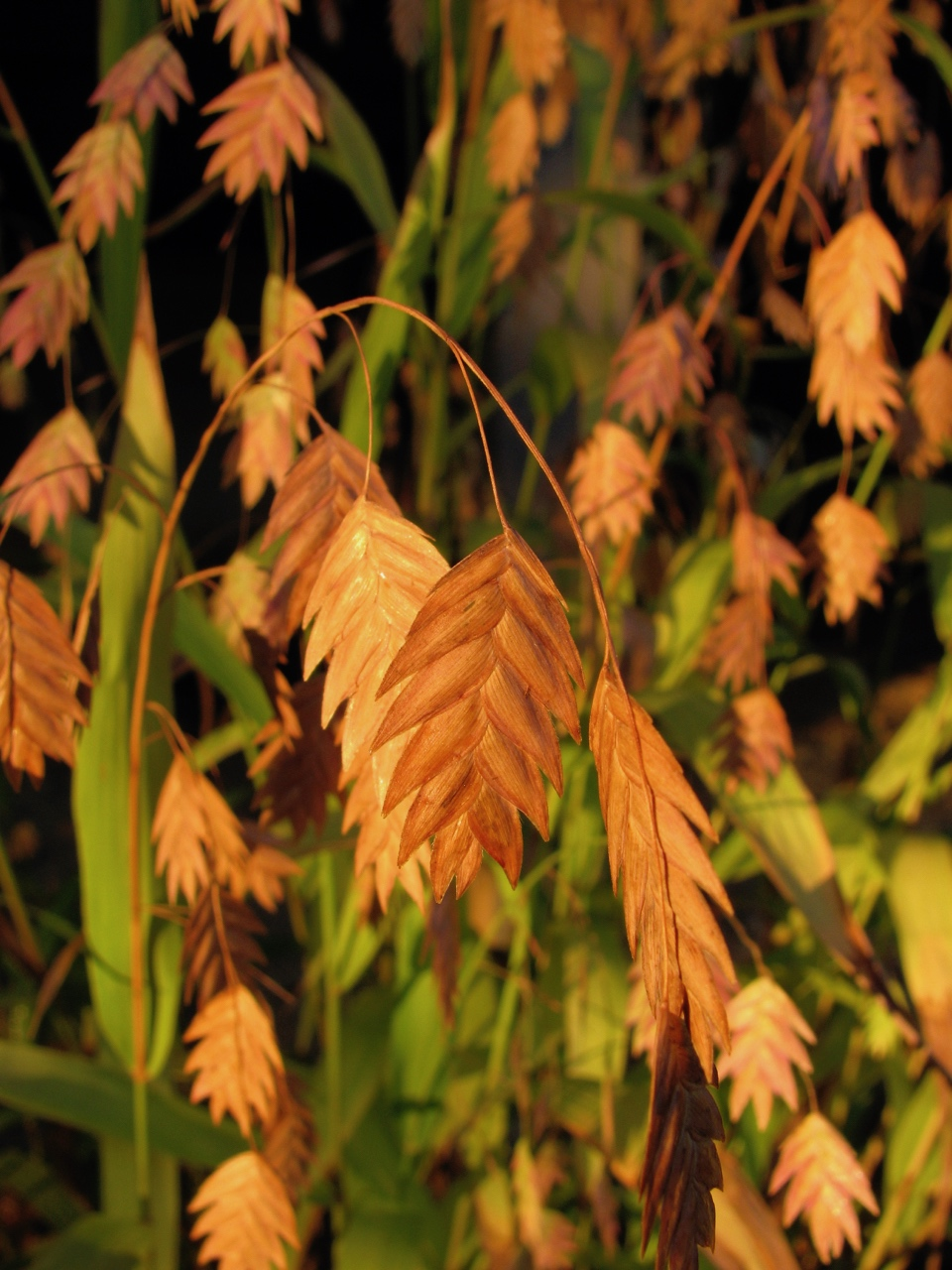 The Scientific Name is Chasmanthium latifolium [= Uniola latifolia]. You will likely hear them called River Oats, Fish-on-a-pole. This picture shows the Mature spikelets in the Fall of Chasmanthium latifolium [= Uniola latifolia]