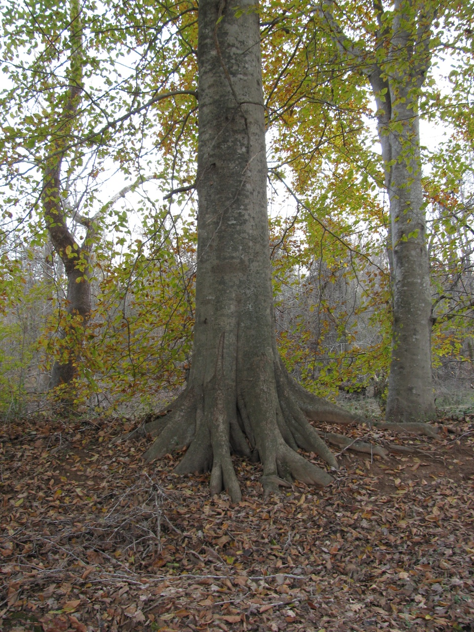 The Scientific Name is Fagus grandifolia. You will likely hear them called American Beech, Gray Beech, Red Beech, White Beech. This picture shows the Mature tree illustrating smooth, gray bark of Fagus grandifolia