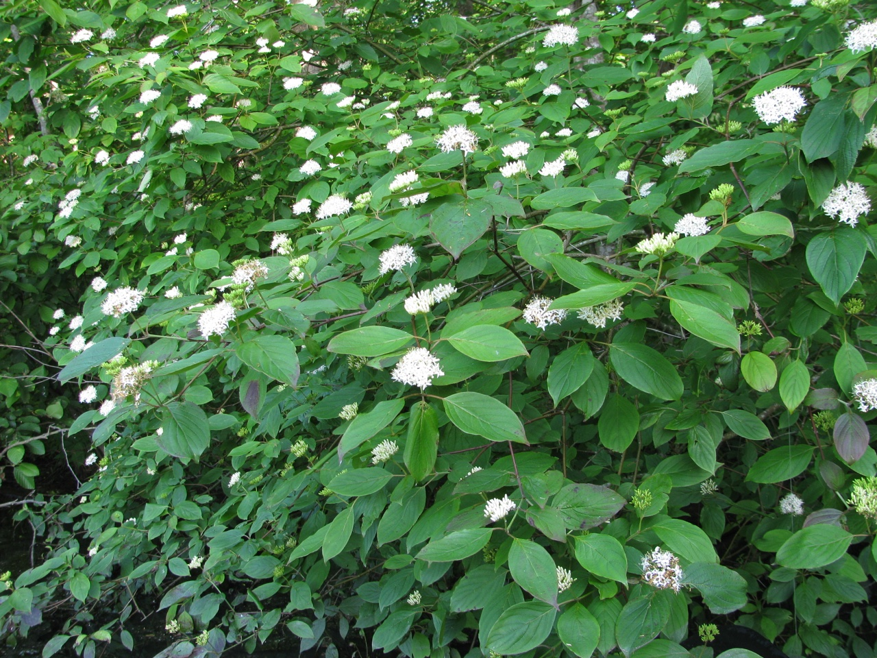 The Scientific Name is Cornus amomum [= Swida amomum]. You will likely hear them called Silky Dogwood. This picture shows the Flowering in early June near water's edge of Cornus amomum [= Swida amomum]