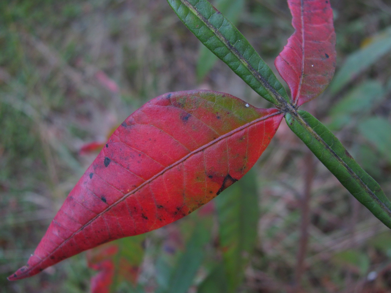 The Scientific Name is Rhus copallinum [= Rhus copallina]. You will likely hear them called Winged Sumac, Shining Sumac, Flameleaf Sumac, Dwarf Sumac. This picture shows the Close-up of winged rachis (main leaf stem of compound leaf) of Rhus copallinum [= Rhus copallina]
