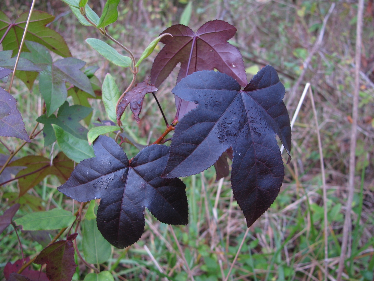 The Scientific Name is Liquidambar styraciflua. You will likely hear them called Sweet Gum, Red Gum, Sweetgum. This picture shows the One of many leaf colors in the Fall of Liquidambar styraciflua