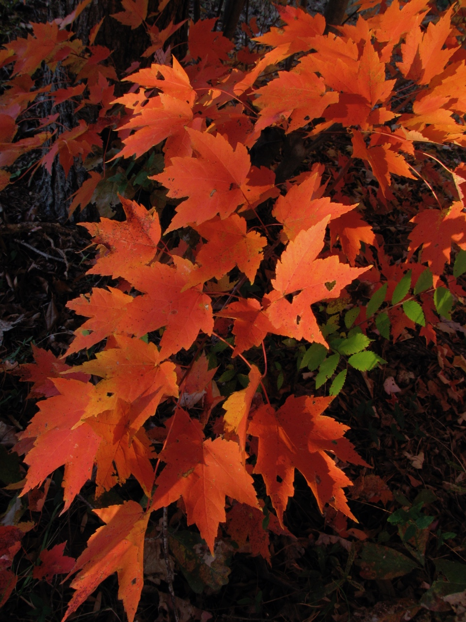 The Scientific Name is Acer rubrum. You will likely hear them called Red Maple. This picture shows the Beautiful fall color in November of Acer rubrum