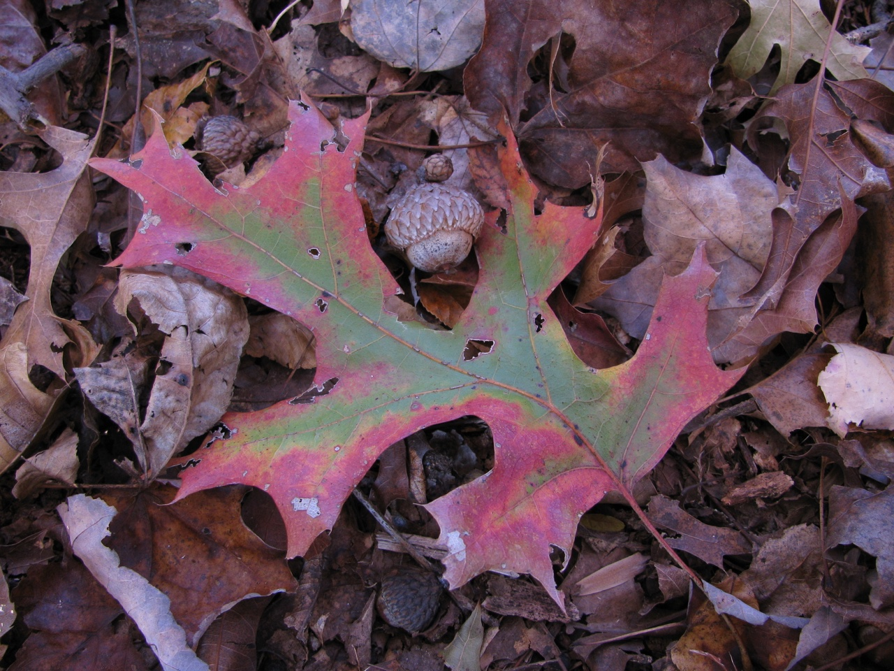 The Scientific Name is Quercus coccinea. You will likely hear them called Scarlet Oak. This picture shows the Fallen leaf and acorn. Concentric rings commonly present around the tip of the acorn. of Quercus coccinea