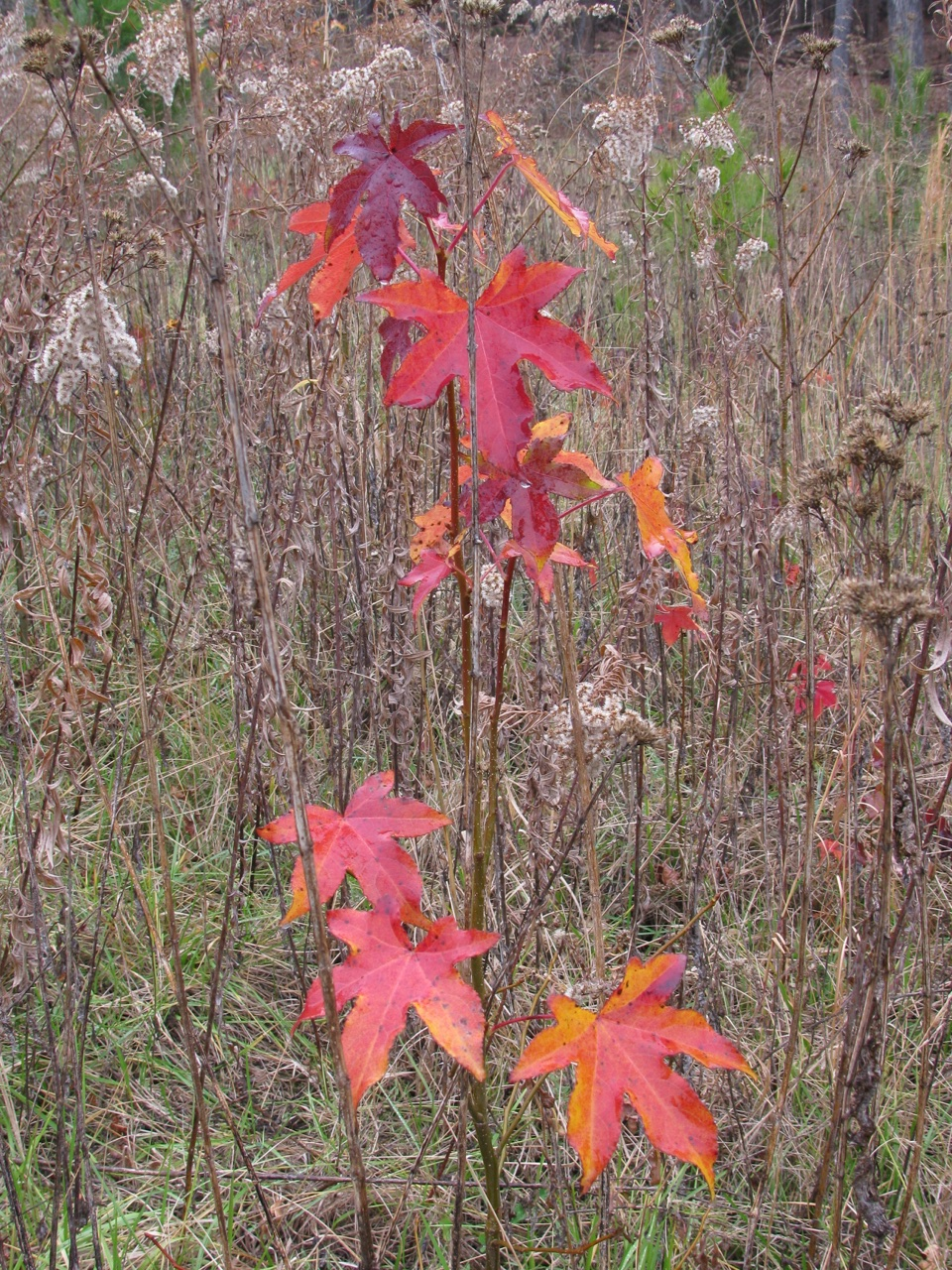 The Scientific Name is Liquidambar styraciflua. You will likely hear them called Sweet Gum, Red Gum, Sweetgum. This picture shows the Colorful Fall foliage of Liquidambar styraciflua