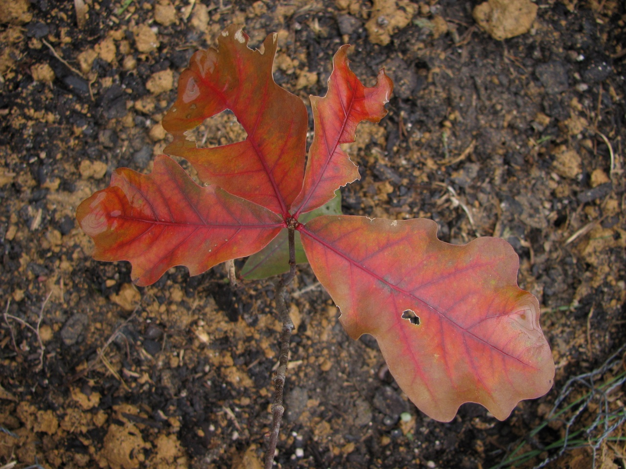 The Scientific Name is Quercus alba. You will likely hear them called White Oak. This picture shows the Beautiful fall color on a young sapling of Quercus alba