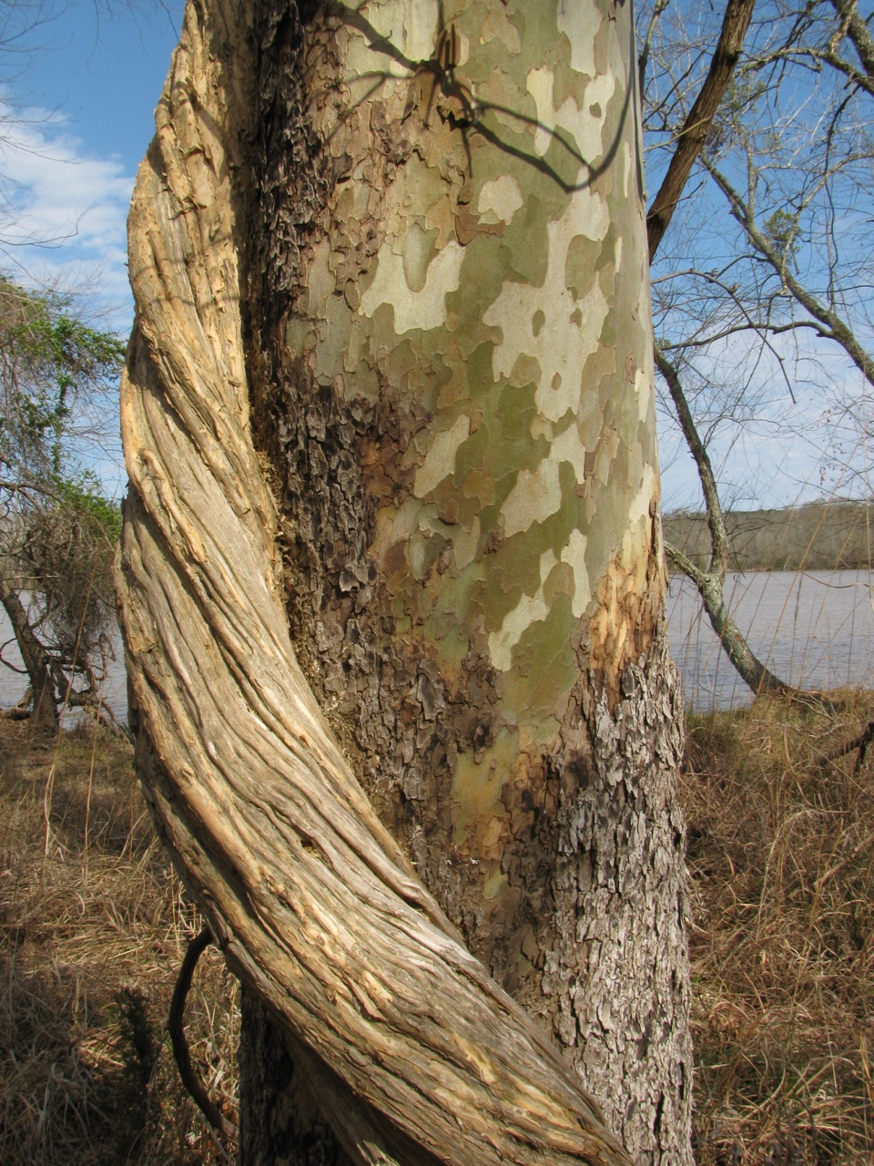 The Scientific Name is Platanus occidentalis. You will likely hear them called American Sycamore. This picture shows the Transition of bark on lower trunk to the mottled patchwork of colors of the inner bark. of Platanus occidentalis