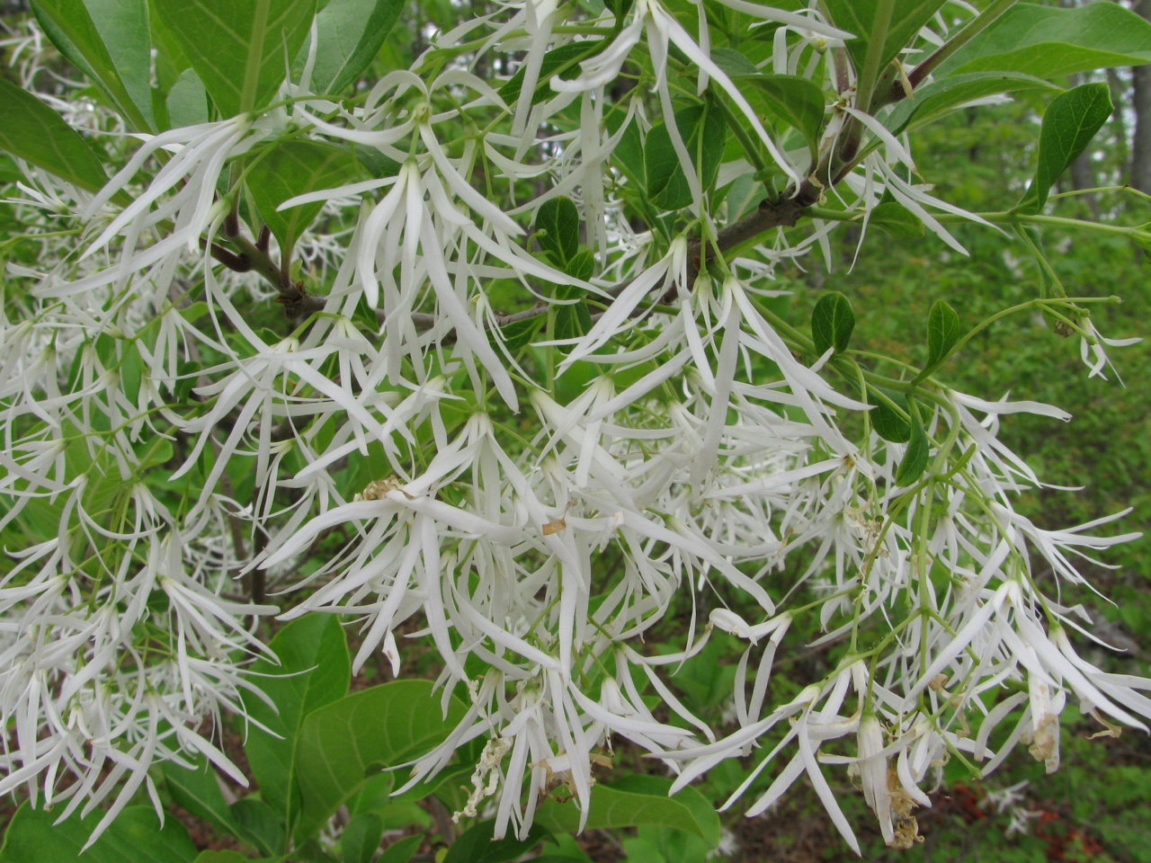The Scientific Name is Chionanthus virginicus. You will likely hear them called Fringe tree, Old man's beard. This picture shows the Close-up of flowers of Chionanthus virginicus