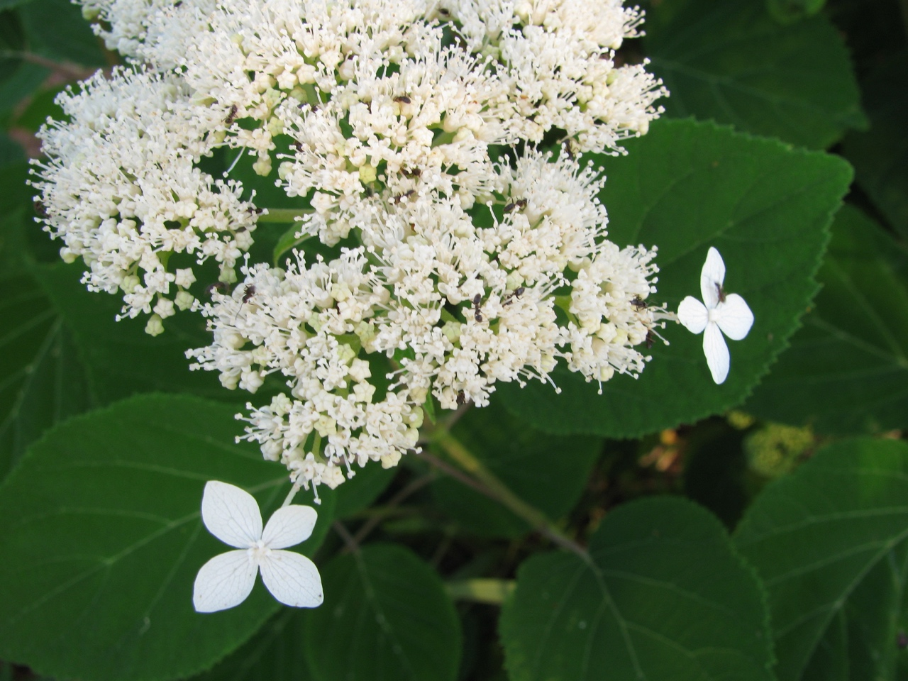 The Scientific Name is Hydrangea radiata [= Hydrangea arborescens ssp. radiata]. You will likely hear them called Silverleaf Hydrangea, Snowy Hydrangea. This picture shows the In full bloom in late May of Hydrangea radiata [= Hydrangea arborescens ssp. radiata]