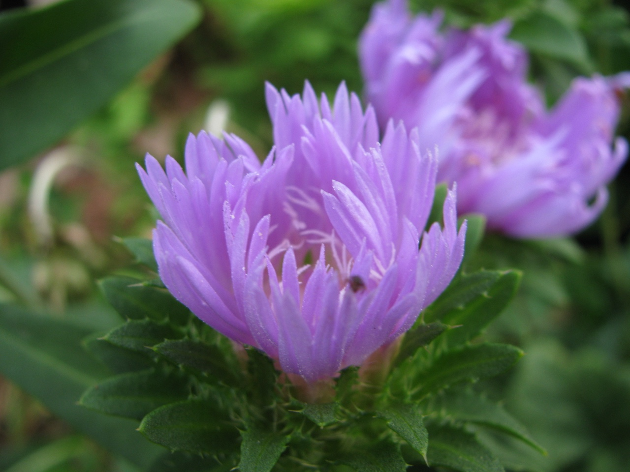 The Scientific Name is Stokesia laevis. You will likely hear them called Stokes Aster, Stokesia, Blue Stokesia, Stokes's Aster, Cornflower Aster. This picture shows the Flower head beginning to unfurl of Stokesia laevis