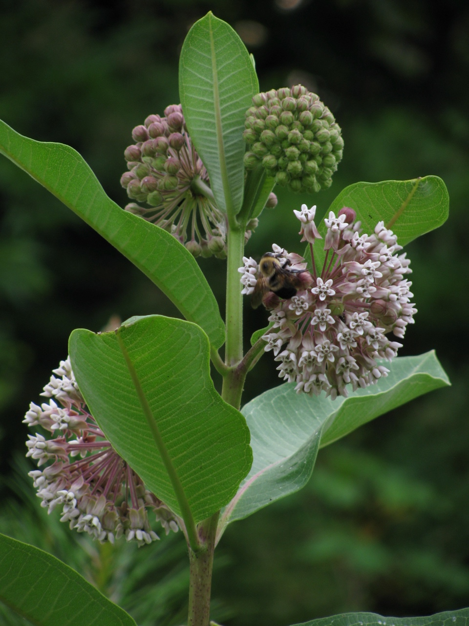 The Scientific Name is Asclepias syriaca. You will likely hear them called Common Milkweed. This picture shows the In full glory! Has a wonderful fragrance too. of Asclepias syriaca