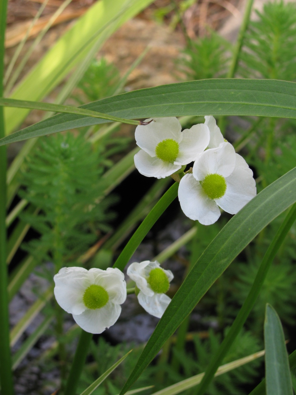The Scientific Name is Sagittaria latifolia. You will likely hear them called Broadleaf Arrowhead, Duck-potato. This picture shows the Close-up of inflorescence of Sagittaria latifolia